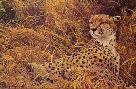 Robert Bateman Cheetah with Cubs