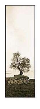 Alan Blaustein Coast Oak Tree