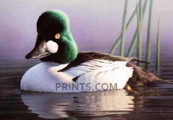 Robert Steiner Common Goldeneye 2013 Federal Duck Stamp Print Medallion Edition