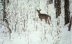 Ron Parker Deep Snow - Whitetail