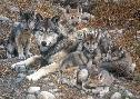 Carl Brenders Den Mother Wolf Family