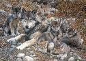 Carl Brenders Den Mother Wolf Family
