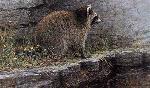 Robert Bateman Distant Danger Raccoon