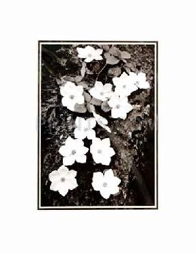 Ansel Adams Dogwood Blossoms SM Matted