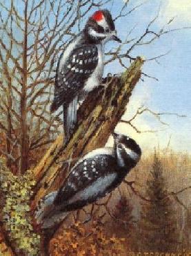 Owen Gromme Downey Woodpeckers