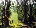 June Carey Eucalyptus Light