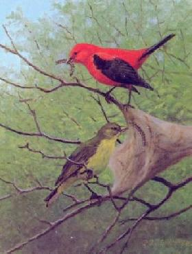 Owen Gromme Gathering Food - Scarlet Tanagers