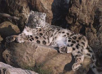 Carl Brenders Ghost Cat - Snow Leopard Giclee on Canvas