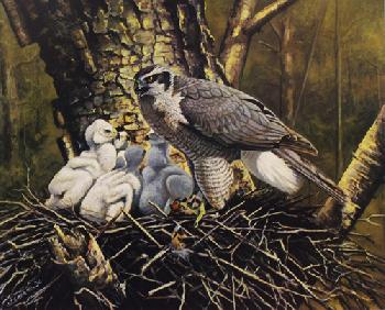 Owen Gromme Goshawk and Young Artist