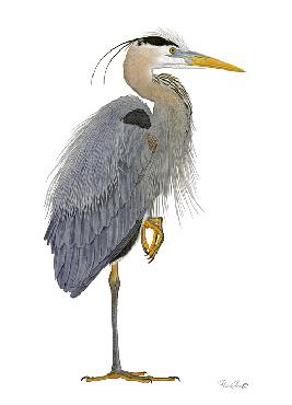 Flick Ford Great Blue Heron Signed Open Edition on Paper