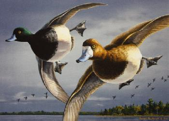 Jim Hautman Greater Scaup 1996 Minnesota Duck Stamp Print