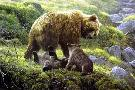 Robert Bateman Grizzly and Cubs