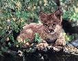 Charles Frace Hideaway - Lynx Cub