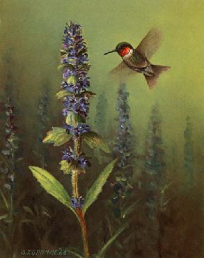 Owen Gromme Hummingbird MaCarthur Edition