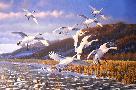 Michael Sieve Late Season - Tundra Swans