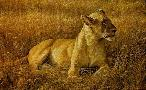 Robert Bateman Lioness at Serengeti