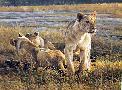 Robert Bateman Lions at Dawn
