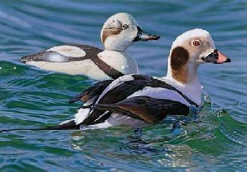 Joshua Spies Long Tailed Duck with Decoy 2009 Federal Duck Stamp Print Giclee on Canvas