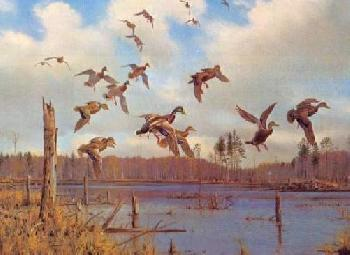 Owen Gromme Mallards and Black Ducks Artist