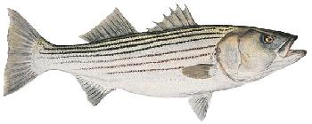 Flick Ford Mature Striped Bass Giclee on Canvas