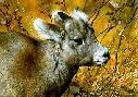 Carl Brenders Mountain Baby Bighorn Sheep