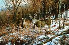 Michael Sieve October Snowfall - Whitetail Deer