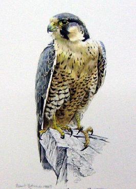 Robert Bateman Peregrine Falcon 1988