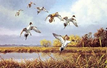 David Maass Pintails In Autumn