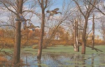 David Maass Placid Backwaters Wood Ducks Artist