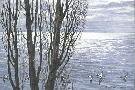 Robert Bateman Poplar Trees and Buffleheads