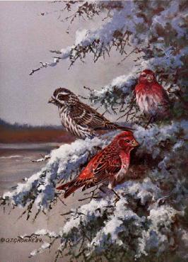 Owen Gromme Purple Finches Artist