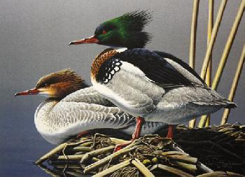 Neal Anderson Red-Breasted Merganser