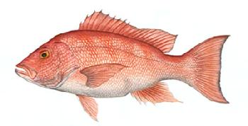 Flick Ford Red Snapper Signed Open Edition Giclee on Paper