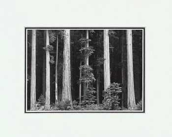Ansel Adams Redwoods LG Matted