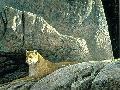 Robert Bateman Rocky Wilderness Cougar