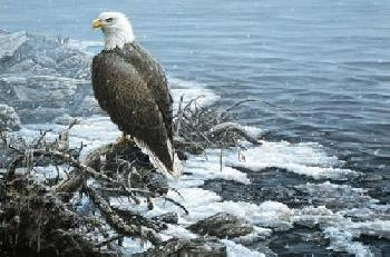 Paco Young Shoreline Flurries (Bald Eagle)