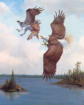 Owen Gromme Sky Piracy - Bald Eagle and Osprey