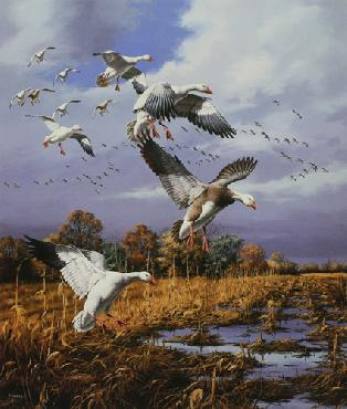 David Maass Snow Geese - Mississippi Flyway Artist