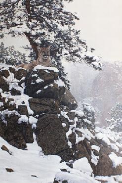 Terry Isaac Snow Spirit Cougar