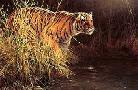 John Seerey-Lester Something Stirred Bengal Tiger