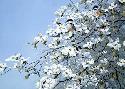 John Seerey-Lester Spring Mist - Chickadees