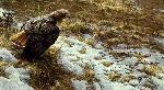Robert Bateman Spring Thaw Redtailed Hawk
