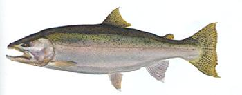 Flick Ford Steelhead Trout Signed Open Edition Giclee on Paper