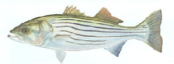 Flick Ford Striped Bass Signed Open Edition Giclee on Paper