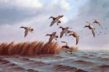 David Maass Swinging the Channel Canvasbacks Artist