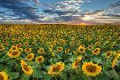 Rob Greebon Texas Sunflower Sunset 2