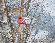 Michael Sieve Trailside - Cardinals