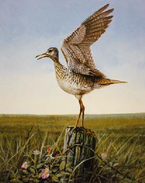 Owen Gromme Upland Plover Artist
