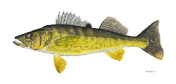 Flick Ford Walleye Giclee on Canvas