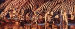 Joshua Spies Waterline - Zebras